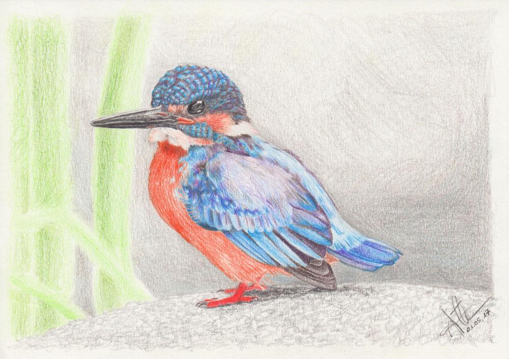 Eisvogel Zeichnung
