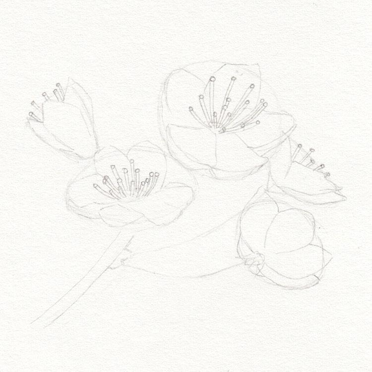 Рисунок цветов вишни Эскиз