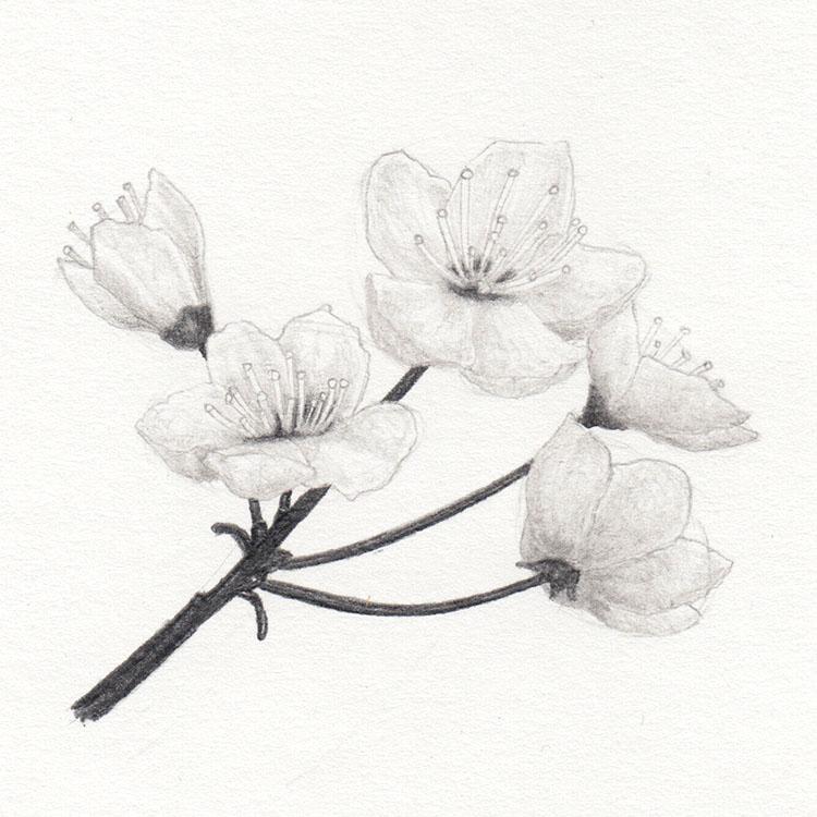 Нарисуем цветы сакуры
