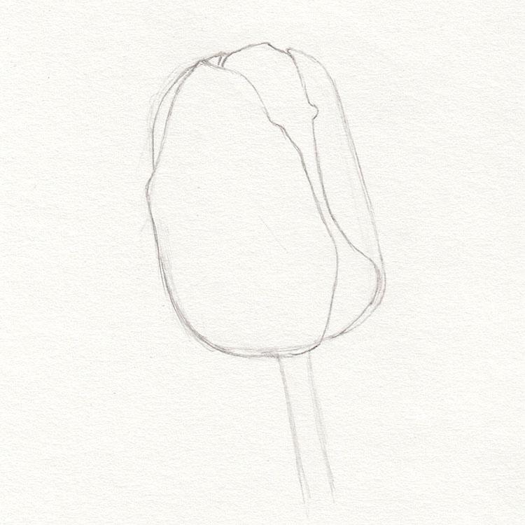 Рисунок эскиза тюльпана