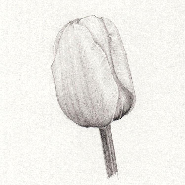 Рисование тюльпана