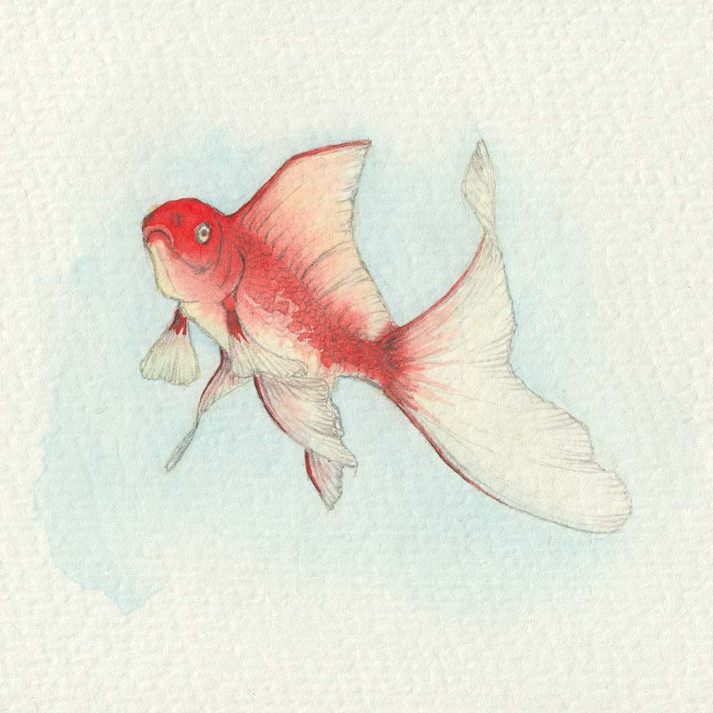 Watercolor painting of goldfish with pencil sketch