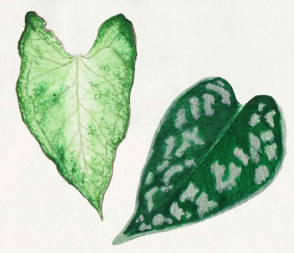 Paint different colors of leaves: Syngonium White Butterfly, Pothos scindapsus pictus