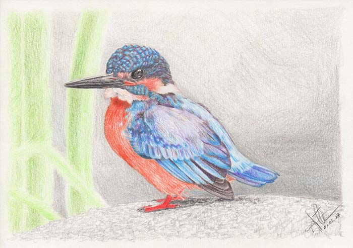 Colored pencil drawing of a Kingfisher