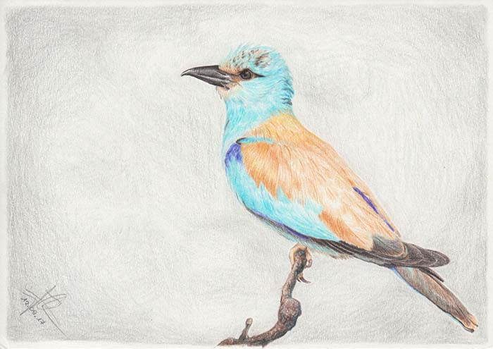 Colored pencil drawing of a European roller