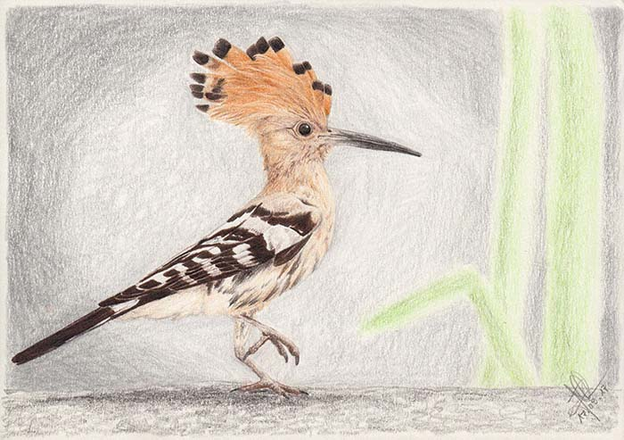 Colored pencil drawing of an Eurasian hoopoe